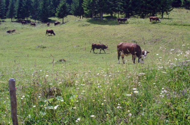 Ferdinand the Bull's family grazing in the wild flowers. Picture by Thomson Bike Tours.